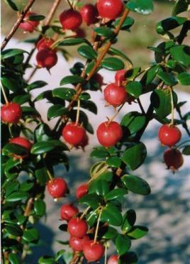 murta berry